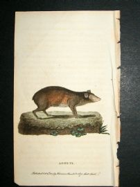 Agouti: 1800 Hand Colored Print